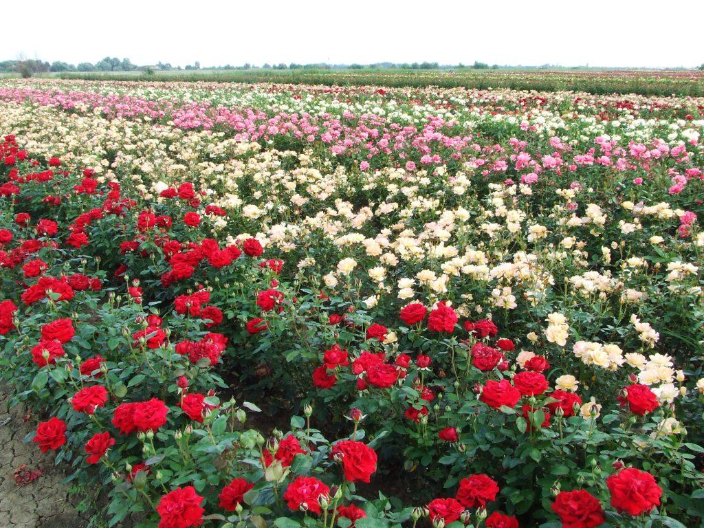 Szőregi rózsaföld